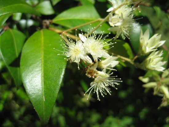 Small tree for entrance garden - Backhousia Myrtifolia - Cinnamon or Grey Myrtle