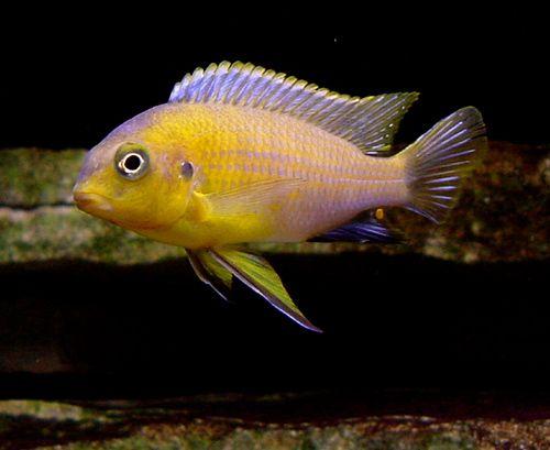 Картинки по запросу Petrochromis spec. 'yellow head'