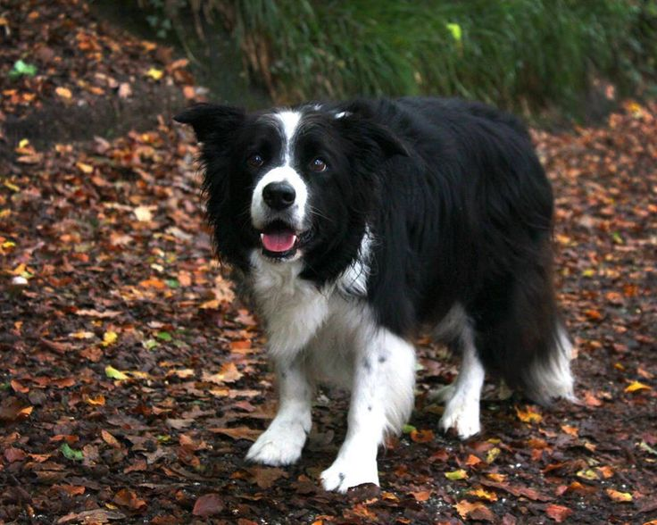 You've heard of the greatest generation. This is the greatest breed. Classic Border Collie...