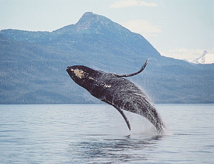 Whale, how much  energy must it take to launch that huge body into the air???