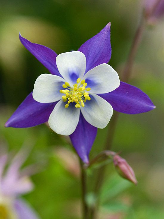 Columbine  Easy to grow and beautiful, columbine blooms in spring and early summer. The colorful blooms are loved by hummingbirds and gardeners alike.  Name: Aquilegia varieties  Growing conditions: Part shade and well-drained soil  Height: To 3 feet tall  Zones: 3-9, depending on variety