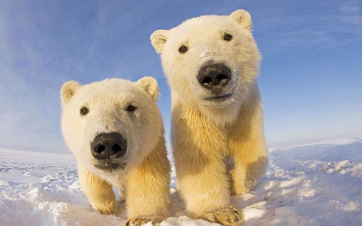 24. Полярные медвежата