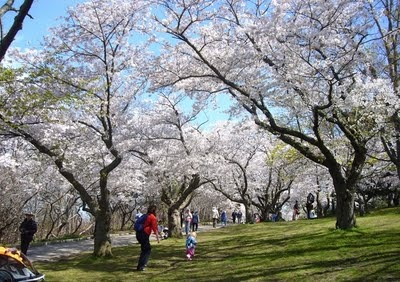High Park Cherry Blossoms - I WILL go next year.
