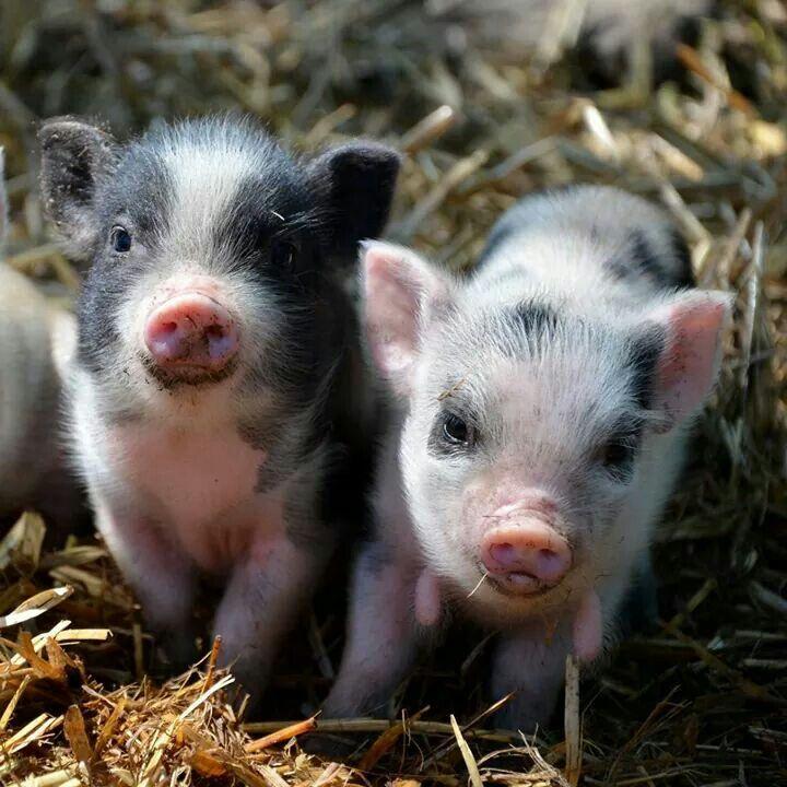 二匹の豚の赤ちゃん1