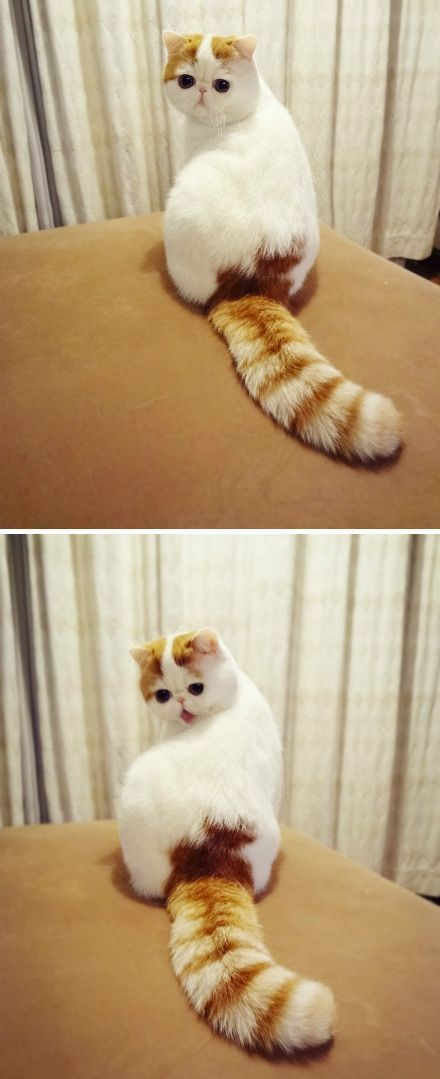 Who cares that I'm an ugly flat faced cat! Meow! I have a fabulous fluffy tail!