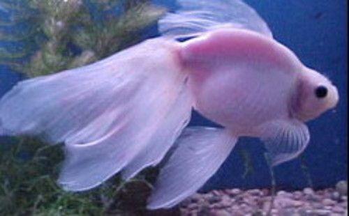 White veiltail goldfish | The Albino Veiltail Goldfish