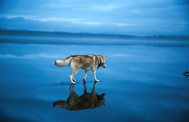 Fox Grom has won over the world with his majestic photos of Siberian Huskies. This pet owner recently took his two dogs to an enormous frozen lake in Russia and photographed their playtime. What's amazing about these pictures is that the frozen lakes have beautiful crystal clear water, making them all look like they have […]