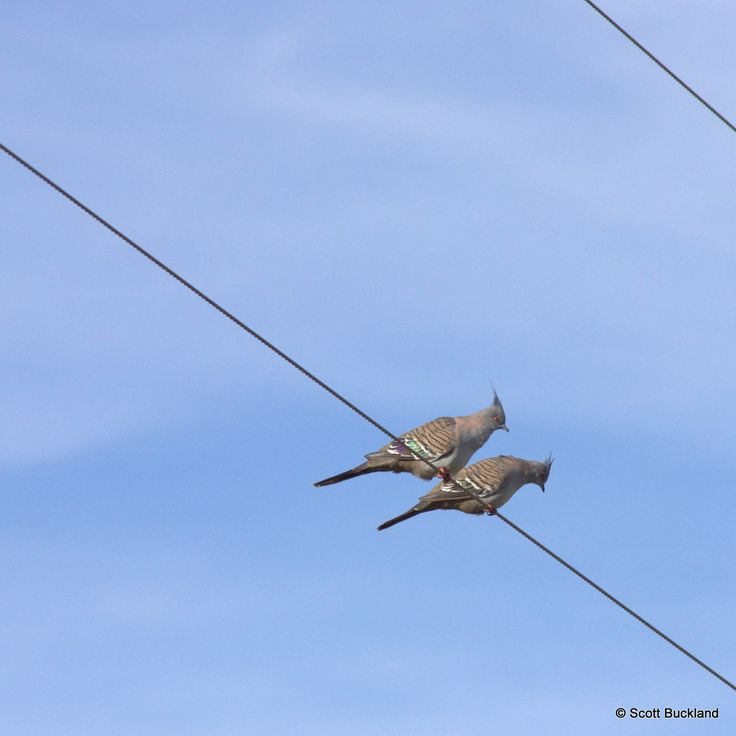 Crested Pigeon - South Bodallin, Western Australia - ©2014 Scott Buckland