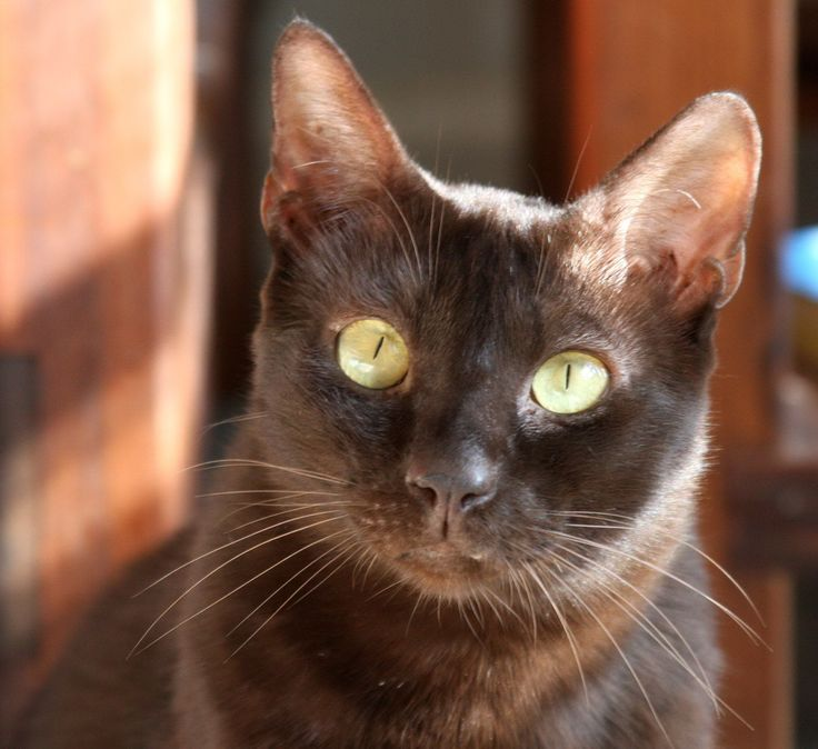 17 Best images about 54. Chocolate Cats (Dark Brown Cats ... - photo#39
