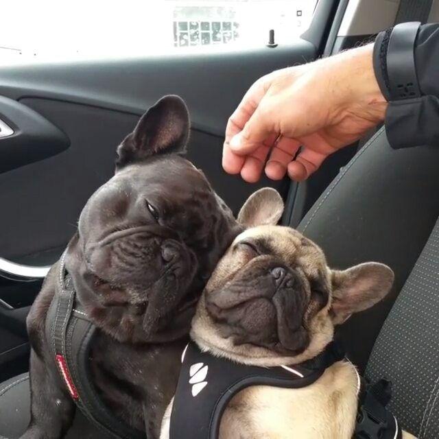 Los bulldogs franceses se durmieron en el auto ...