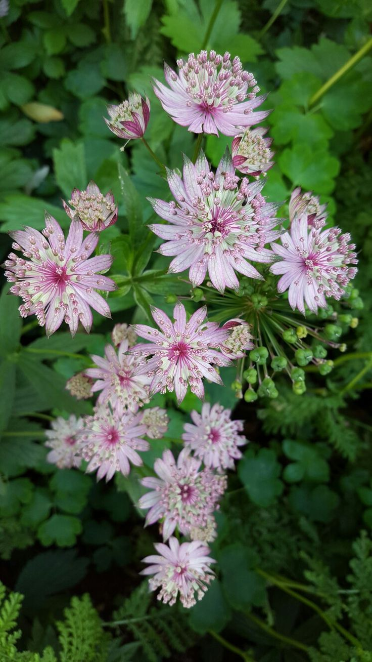 Astrantia are like star clusters to me. Beautiful energy to work with in floral designs.