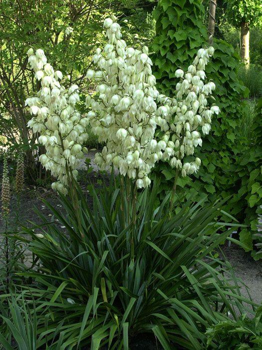 Yucca filamentosa - Palmlilie   Palmlilien sind, besonders in der Blüte, elegante majestätische Schönheiten zurEinzelstellung auf sandigen, durchlässigen und warmen Standorten. Nasse Füßemag die Palmlilie...