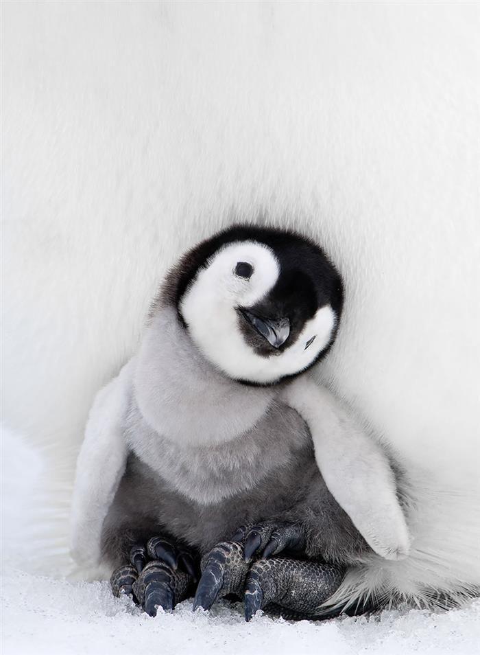 ¿Has Visto Estas Adorables Fotos De Pingüinos ?