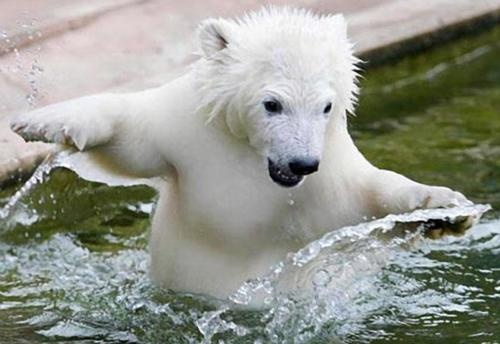 First Swim  by Happy Jack: Wild Animal, Water Plays, Nuremberg Zoos, Baby Animal, Bears Swim, Adorable Baby, Bears Attack, Baby Polar Bears, Polar Bears Cubs