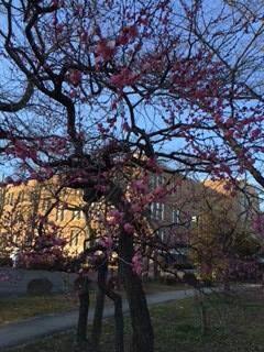 ☆共和AMEL梅情報最終発表☆ みなさんこんにちは! 水戸から届いた最後の梅情報です♫ 「高橋 郷佑」さまからの投稿 [場所] 茨城県 偕楽園 [コメント] 今年で120回を数える「水戸の梅まつり」。 偕楽園には約100品種3,000本もの梅が植えられており、様々な品種があるため「早咲き」「中咲き」「遅咲き」と長期間にわたり観梅を楽しむことができます! 観光いばらきポータルサイトによれば「偕楽園の開花状況.平成28年2月5日(金)現在. 約3,000本のうち495本(16.5%)開花 しました。 「一流」が開花しており、好文亭の西塗縁から見ることができます」とのこと。 まだまだ寒いですが一つ一つ咲いていく梅の花の見頃が楽しみです。暖かい日は近所の弘道館へお参りに。こちらも綺麗な梅林。蕾がたくさんでした。この時期学校のお便りにも必ずと言っていいほど載る梅の花。水戸の名物です! ※共和AMEL梅情報は2015年2月10日にて締め切らせていただきました。ありがとうございました。