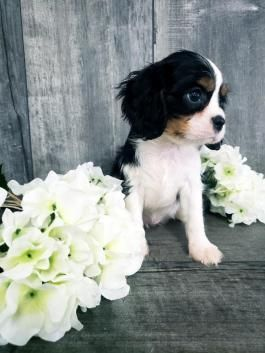 Beverly!! Cavalier King Charles Spaniel Puppy for Sale