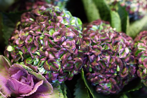 Hortensia, hydrangea http://holmsundsblommor.blogspot.se/2014/10/ett-snitt-av-vart-snitt.html