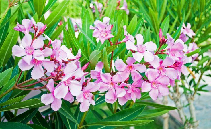 Oleander richtig schneiden  Oleander sind wunderschön blühende Kübelpflanzen für Balkon und Terrasse, brauchen aber auch einiges an Pflege. Wie Sie Ihren Oleander schneiden müssen, damit er über Jahre schön bleibt, erfahren Sie hier.