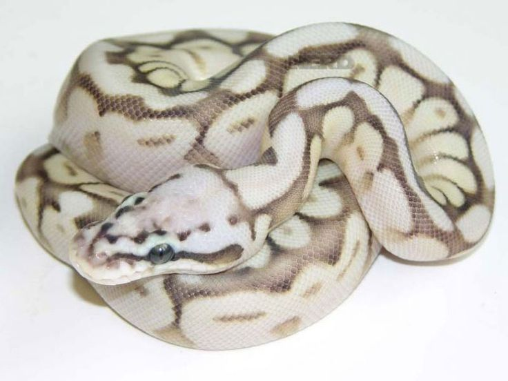 Queen Bee Ball Python morph