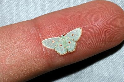 The species is called Comostola laesaria and adults only grow to have a wingspan of 20 mm.