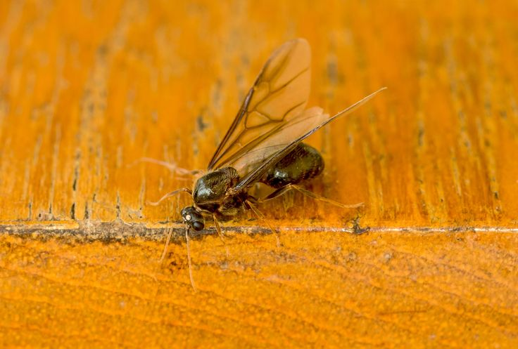 how to get rid of flying ants in the garden