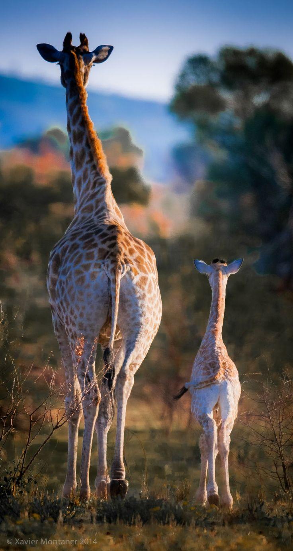 Giraffe afternoon walk, Pilanesberg Nature Reserve