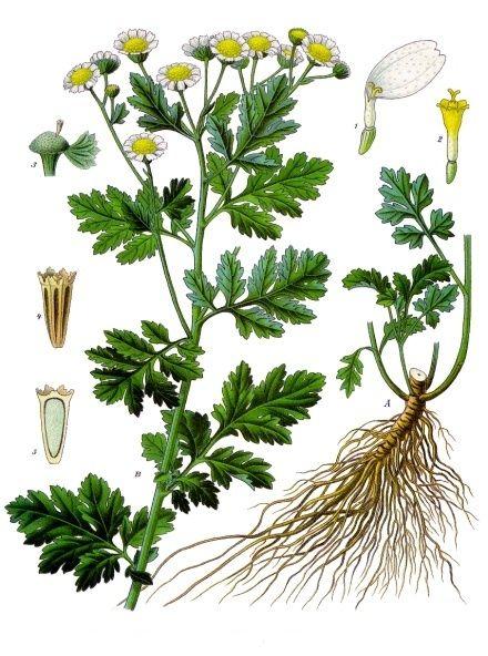Datei:Tanacetum parthenium - Köhler–s Medizinal-Pflanzen-036.jpg. Mutterkraut ( feverfew in English) for migraine tx