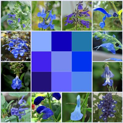 True blue flowers are rare except among Salvias. They create harmony in gardens. Find true blue flowers at FBTS Online Salvia Nursery.