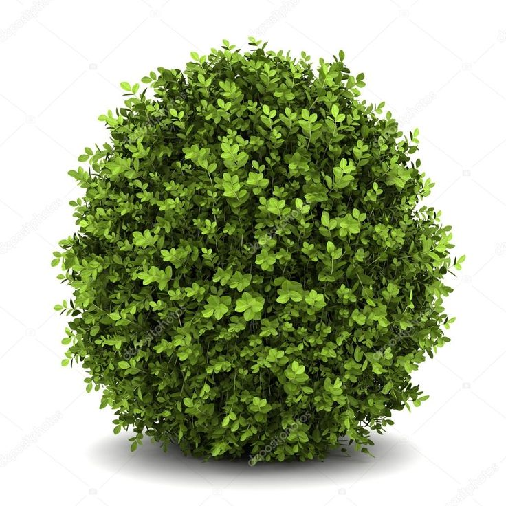 Download - Dwarf english boxwood isolated on white background — Stock Image #9376519