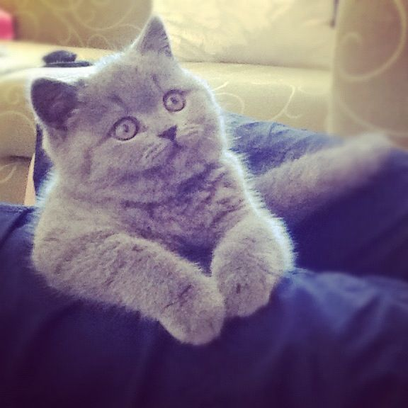 My British shorthair kitten. LOVE her.