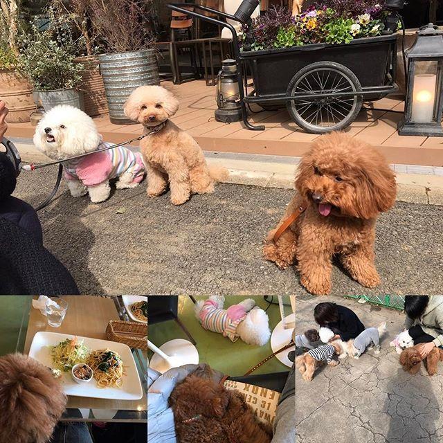 駒沢公園へふわもこ散歩。 駒沢公園のドッグラン、無料で綺麗でとっても良かったです。 駒沢オリンピック公園内に新しく@mr.farmer_ が3月15日オープンみたいで、とっても素敵なカフェの内覧会もやっていました。またオープンしたら行くのが楽しみです😌 今日のランチはグランディッシュカフェ イズム。 店内ワンコOKはこの時期とってもありがたい。 今日もモフモフたくさん癒やされて幸せ😌 #トイプードル #トイプー#癒し #愛犬 #ふわもこ #ふわふわ #toypoodle #dog #ビションフリーゼ #仲良し#ふわもこ会#駒沢公園#駒沢公園ドッグラン #ミスターファーマー #もうすぐオープン#grandishcafe