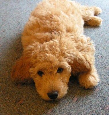 A golden doodle puppy a mix between a poodle and a golden retriever.