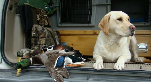 Labrador Retriever: That love of water also made them ideal duck and goose dogs and the word soon spread across the Atlantic when bird hunting became the sport of kings.