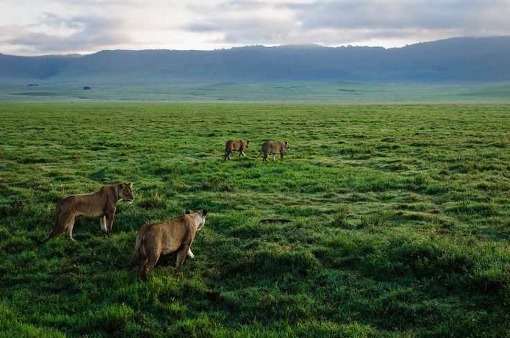 https://flic.kr/p/uqCGBx | Ngorongoro Crater, Tanzania, 2014 | Lions getting ready to hunt at dawn in the Ngorongoro Crater, Tanzania.