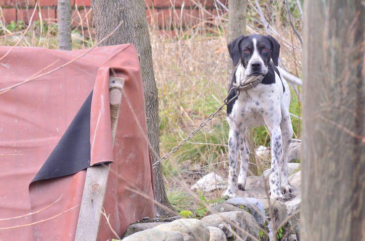 Av köpeği sert, gaddar ve bir o kadar da evcil
