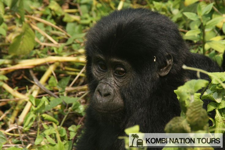 Baby Gorilla in Bwindi Impenetrable National Park! For more information on Uganda's wildlife, please visit our website.