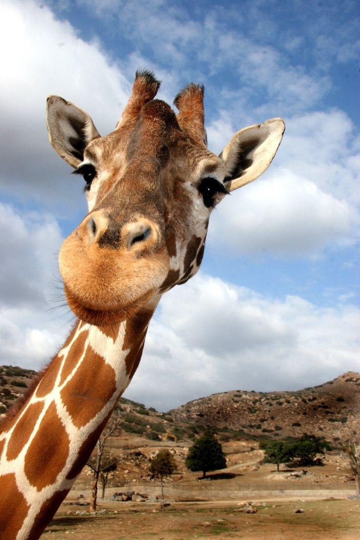 Картинки жираф прикольный