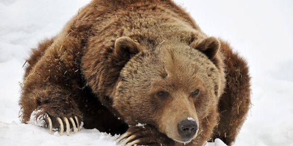 Protect Grizzly Bears' Habitat! http://www.thepetitionsite.com/takeaction/338/773/046/?taf_id=10193727&cid=fb_na #SeaShepherd #defendconserveprotect