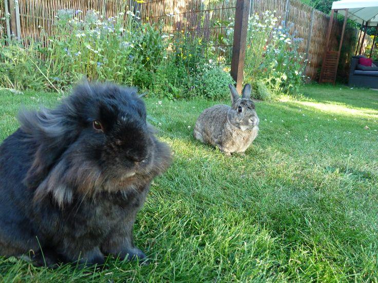 Karl og My. Begge neutraliserede.     #kaniner #huskaniner #kaninhaandbogen