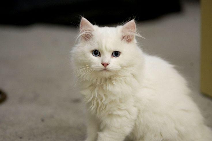 Cymric Cat White