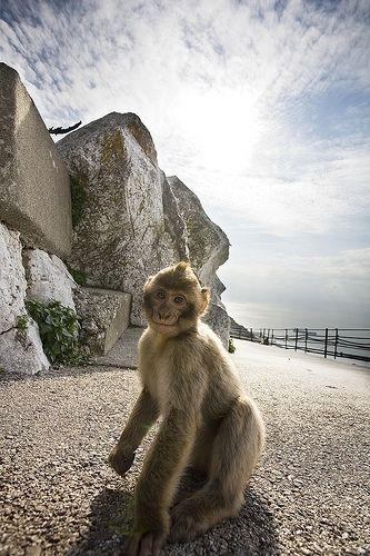 Gibraltar Photos - Monkey   iExplore