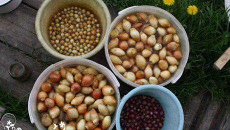 Обработка лука перед посадкой – увеличьте урожайность и забудьте о луковой мухе!
