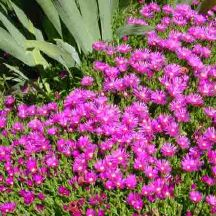 Hardy Ice Plant Drought Tolerant Succulent With Needle Like Leaves And Fluorescent Purple Flowers