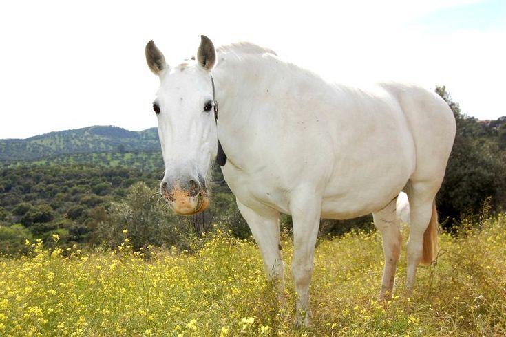 Yeguas pura raza española. Andalusian horses.