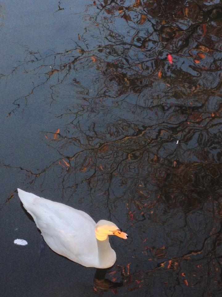 Swan on Early morning in Japan