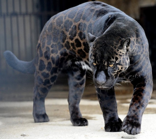 Black Panther with spots is a combination of a Leopard and Jaguar or Cougar.