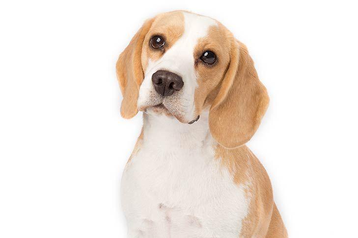 Beagle Dog Breed Information Beagle Dog Beagle Dog Breed Dog