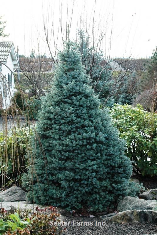 Picea Pungens Sester Dwarf Whole Nursery Supplies Plant Growers In Oregon