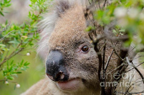 Koala In A Tree. The Great Ocean Road, Victoria, Australia   Fine Art Photography   http://rob-huntley.artistwebsites.com   © Rob Huntley