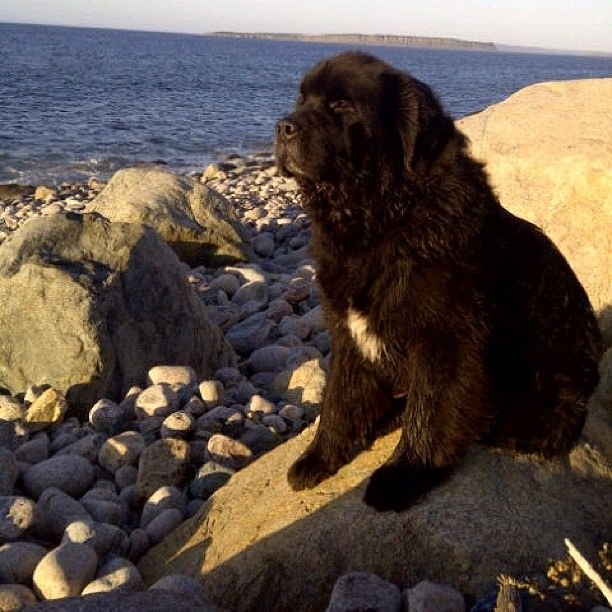 Our Newfoundland Max over looking Conception Bay South, NL